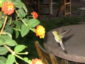 Un colibri en action a Sucre