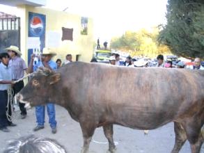 Taureau participant a une peña