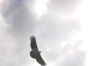 Condor dans le Cañon de Colca