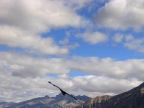 Condor dans le Cañon de Colca au Pérou