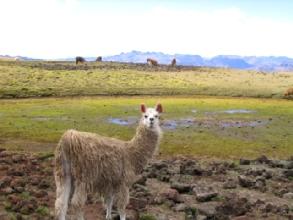 Un lama parmis tant d'autre, avec des boucles d'oreilles