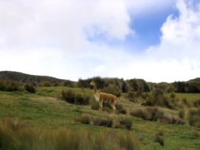 Une vigogne du parc du Chimborazo