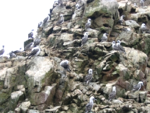 Usine a guano sur pates ¨sur les îles Ballestas au Pérou