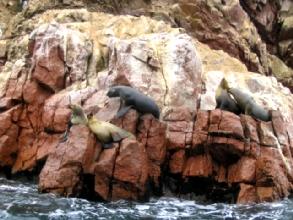 Phoques sur les îles Ballestas au Pérou