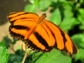 Papillons a Misahualli