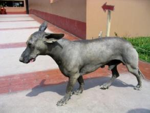 Un viringo, le chien peruvien