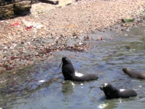 Photo des phoques dans le port d'Iquique, Chili
