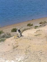 Photo d'un pingouin sur la Peninsule Valdes, Argentine